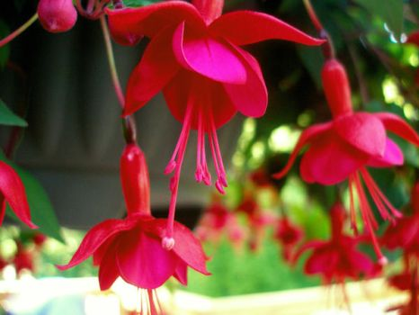 Fuschias by POLKADOTS-FTW