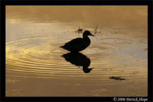 A Lone Duck at Sunset by pshope