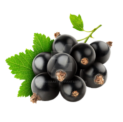 Black currant on a transparent background. by PRUSSIAART