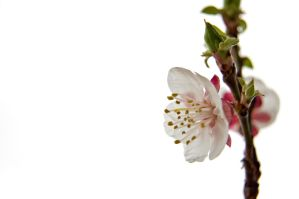 Apricot blossom by StamatisGR