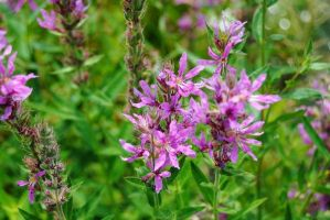 Purple Loosestrife by charliemarlowe