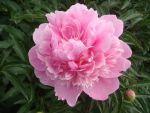 Pink peony by AlphaPrimeDX