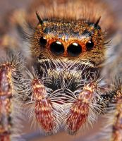 Phidippus princeps 3 by Enkphoto