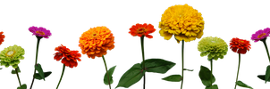 Zinnias by Eirian-stock