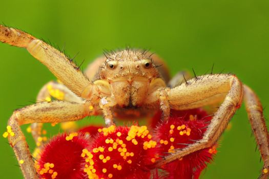 Female Xysticus cristatus - Crab spider by Goshinsky