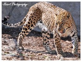 Leopard Two by CaitrinXlXAnneliese