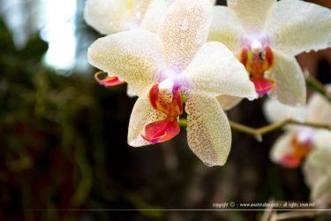 White Orchid by aviatStudios