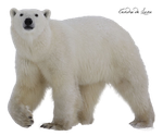 Bear polar PNG by cendredelune