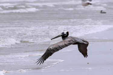 Brown Pelican flying low over sandy beach by stretchc
