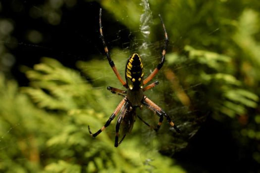 a big yellow spider eating by sselfless