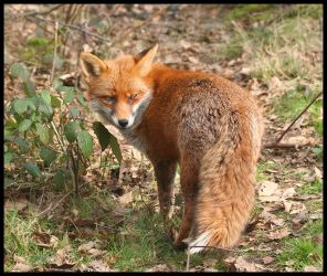 Red Fox by Wolfy2k4