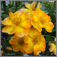 Honey Roses by Mogrianne