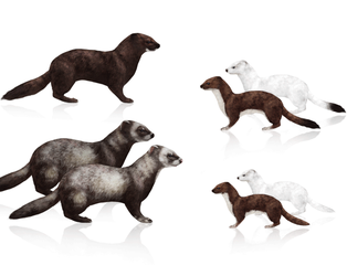 Tutorial: weasels, stoats, polecats, minks, ferret by MonikaZagrobelna