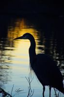 Heron Siloutte by BlueNorthPhotography