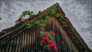 My Grandfathers Roses at my Grandgrandfathers Barn by OfTheDunes