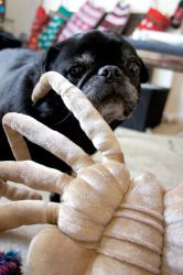 Facehugger Pug Attack by LDFranklin