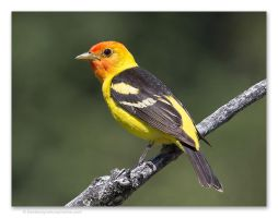 Western Tanager by kootenayphotos