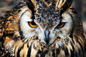 Owl by ZoeCoombesPhoto