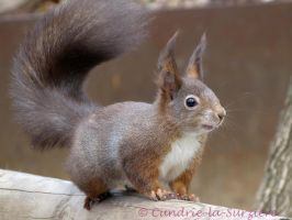 Squirrel 48 by Cundrie-la-Surziere