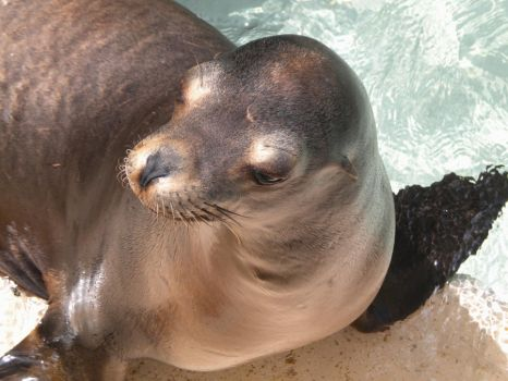 California Sea Lion by BurningPuppets