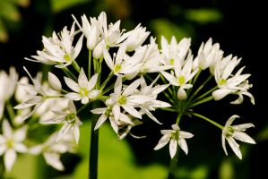 Ramsons, also known as Wild Garlic... by Earth-Hart