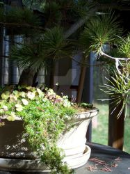 Bonsai pot ground cover by KittyrinnAiko