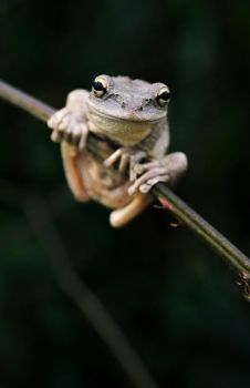 Pinewoods Tree Frog by KAL1MAR1