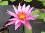 Tropical Waterlily by kiwipics