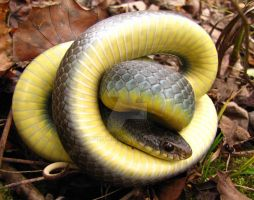 Yellow Belly Racer by SauriaMami