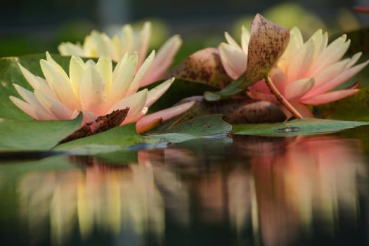 Lily Reflections by ariseandrejoice