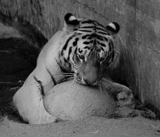 Black and white tiger by Dodephine