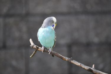 Budgie by raggedi