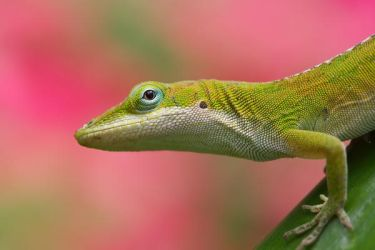 Anole Lizard and Pink Begonias by motleypixel