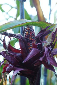 indian corn 3 by fotophi