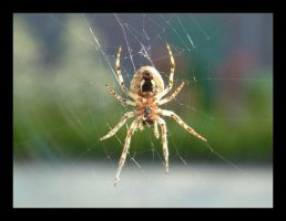 Spider Close Up 3 by mmiesen