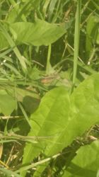Common Field Grasshopper 2 | Rotterdam [Insects] by AseliaNL
