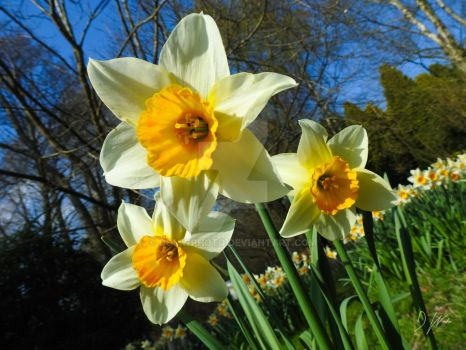 Daffodils by domwlive