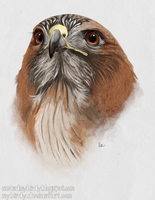 red-tailed hawk by mybirdy