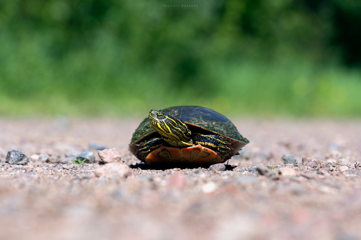 -- western painted turtle by Cue-the-Cannibal