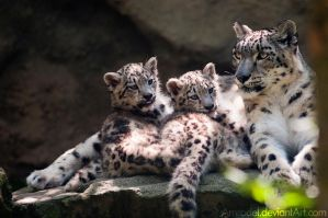 Snow Leopard Cubs With Mom by amrodel