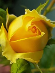 FIRST YELLOW ROSE THIS YEAR ~ on my balcony by DAGAIZM