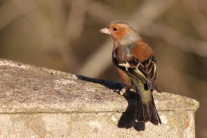 Chaffinch 3 7-1-18 by pell21