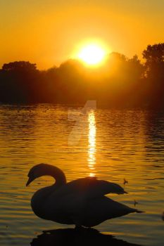 Afternoon Swan by AriPlanet