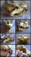 Giant Hyena Skull by CabinetCuriosities