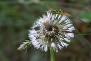 dandelion ball by MissManic7910