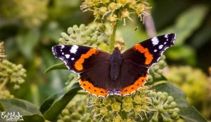 Red Admiral by EmMelody