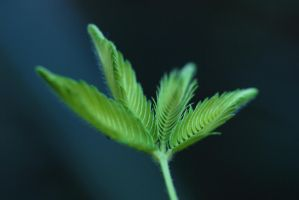 Mimosa Pudica by JohnlockedDancer