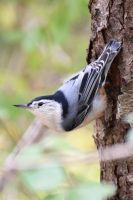 White breasted Nuthatch 001 by Elluka-brendmer