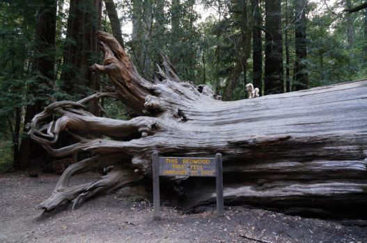 Unity at Big Basin Redwoods State Park, California by Cabraloca