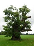 262 - tree by WolfC-Stock